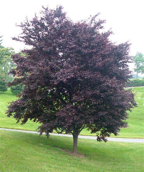 purple leaf flowering plum tree krauter vesuvius purple leaf plum