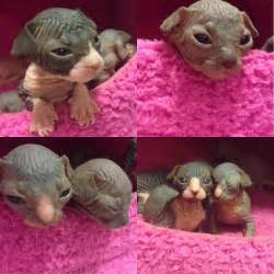 baby hairless cats baby sphynx kittens hairless cats flawless house cats