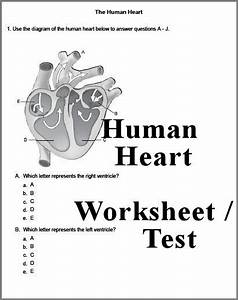 Human Heart 3 Page Worksheet Or Test  Answer Key Can Also Be Downloaded      Homeschool  Biology