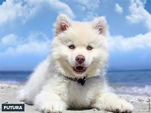 fond d39ecran chien finnois de laponie berger des With forum plan de maison 10 definition venus etoile du berger futura sciences