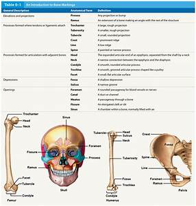 Anatomy Quiz  Bone Markings