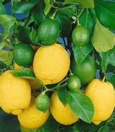 Zitruspflanzen Gelbe Blätter : pflegetipps f r das zitronenb umchen gardening pinterest pflanzen g rten und zitronenbaum ~ Orissabook.com Haus und Dekorationen