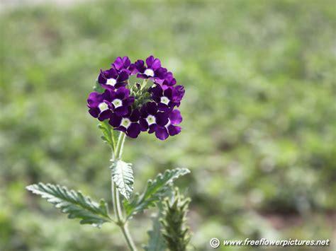 verbena flower verbena pictures verbena flower pictures