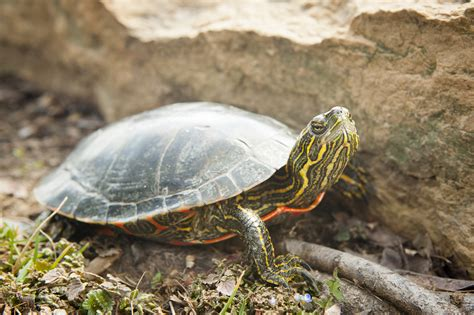painted turtle painted turtle gets dna decoded