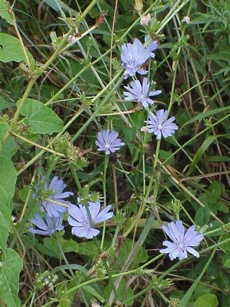 Chicory A Great Roadside Wildflower Friesner Herbarium Blog About Indiana Plants