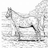 Coloring Horses Printable Horse Appaloosa Adults Realistic Colouring Bestappsforkids Pretty Awesome Malvorlagen Worksheetpedia Library Justcoloringbook sketch template