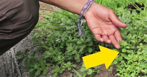 Si Ves Esta Planta Creciendo En Tu Jardín ¡no La Arranques