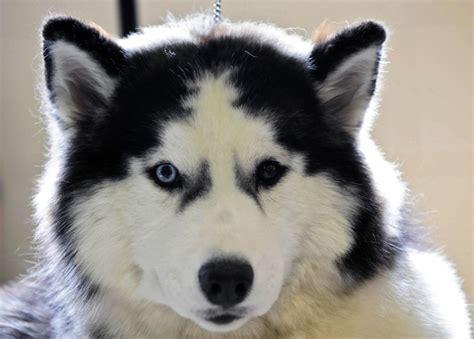 ibeyi  siberian husky dog waits   doggycom