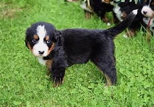Berner Sennenhund Gewicht : berner sennenhund welpen einfach zum liebhaben white and vintage ~ Markanthonyermac.com Haus und Dekorationen