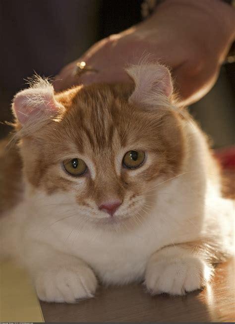 american curl cats cute cats