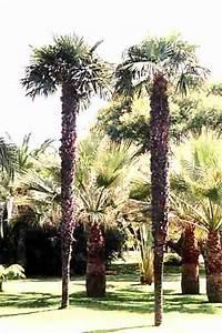 Kentia Palme Braune Blätter : fortunei palme gr ser im k bel berwintern ~ Watch28wear.com Haus und Dekorationen