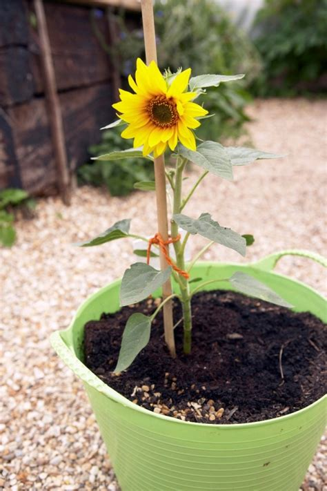 growing sunflowers in containers thriftyfun