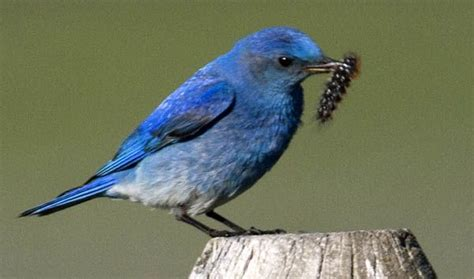 nevada state bird mountain bluebird state bird s
