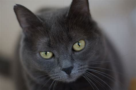 High Resolution Wallpaper Of Cat, Image Of Grey, Strict