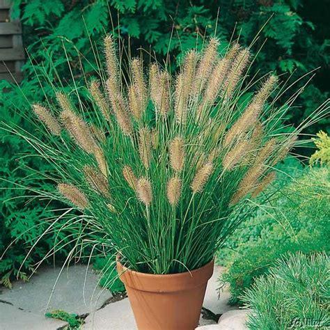 Garten Kaufen Hameln lenputzergras hameln pennisetum alopecuroides hameln