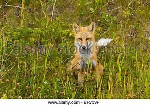 Wir Würden Uns Freuen Englisch : rotfuchs vulpes vulpes gras dominante pose s d ost england vereinigtes k nigreich europa ~ Yasmunasinghe.com Haus und Dekorationen