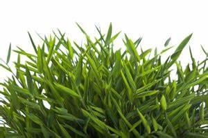 Bambus Als Zimmerpflanze : zimmerbambus pogonatherum paniceum pflege anleitung ~ Eleganceandgraceweddings.com Haus und Dekorationen