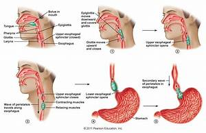 Swallowing  Deglutition  Is A Complex Action Involving Over 22 Muscles  Coordinated By A Pair Of