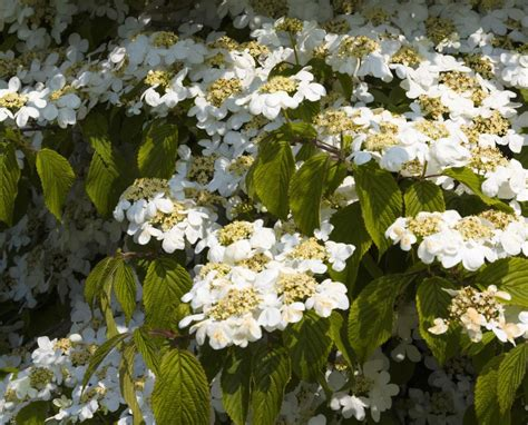 Viburnums Flowering Shrubs For The Landscape And Birds
