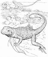 Lizard Coloring Pages Realistic Drawing Animals Horned Printable Reptiles Reptile Wildlife Chameleon Getcoloringpages Getdrawings sketch template