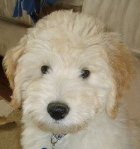 miniature goldendoodle labradoodle puppies  sale