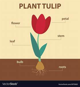 Diagram Showing Parts Of Tulip Whole Plant Vector Image