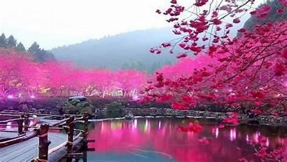 Cherry Blossom Tree Blossoms Desktop