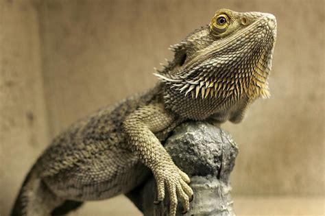 what kind of heat l for bearded dragon bearded dragon behavior