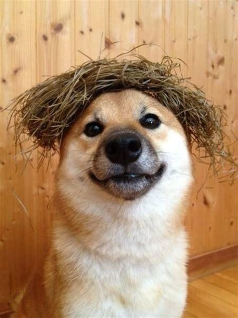 Do Shiba Inus Shed Hair by 1000 Images About Shiba Inu On Shiba Inu