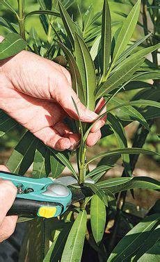 oleander richtig schneiden oleander vermehren stecklinge pflanzen und g 228 rten