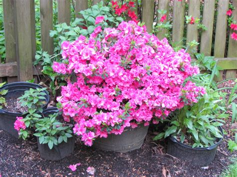 azaleas in pots care easy color flowers and greens in pots from the vine