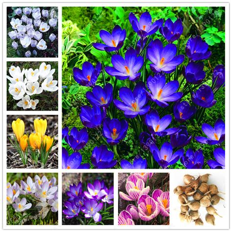 aliexpress buy true crocus saffron bulbs iran