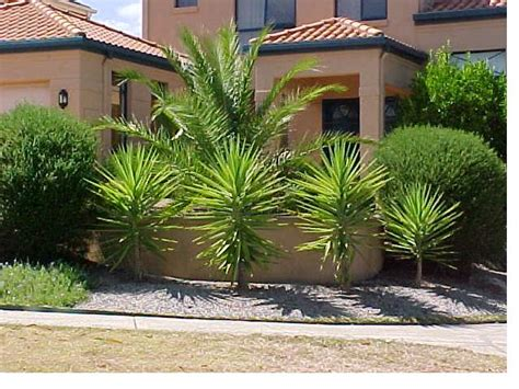 cordyline aussie outdoor palm   plants
