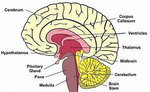 Human Brain: Facts, Functions & Anatomy | Brain