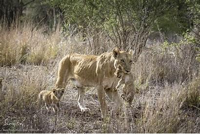 Mountain Pride Lion Cubs Wildlife Singita Park