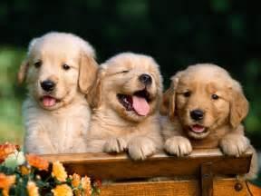 Puppies Desktop Wallpaper Images & Pictures - Becuo