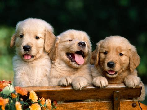 Golden Retrievers Animal Literature