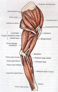 Dog Anatomy Muscles And Tendons