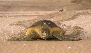 Flatback turtle (Natator depressus) | IUCN SSC Marine ...