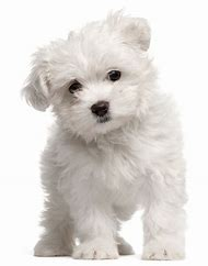 Small Dog Breeds Maltese Puppies