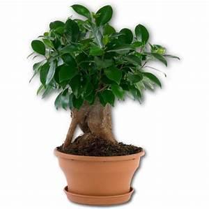 Bonsai Ficus Ginseng : ficus ginseng bonsai 20 40 cm ~ Buech-reservation.com Haus und Dekorationen