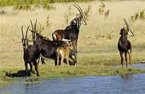 Zimbabwe - Sable Antelopes