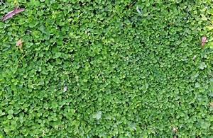 Bodendecker Statt Gras : klee statt rasen anbauen die vorteile auf einen blick ~ Sanjose-hotels-ca.com Haus und Dekorationen