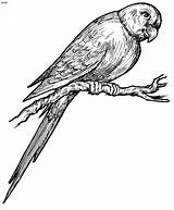 Parrot Coloring Pages Birds Parrots Printable Outline Drawings Clipart Clip Cliparts Cartoon Bird Drawing Bestcoloringpagesforkids Sheets Colors sketch template