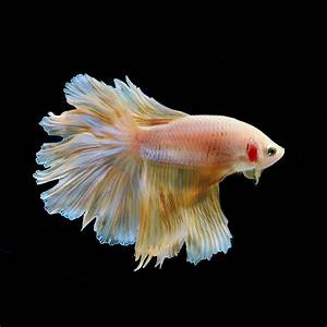 Most Beautiful Fighter Fish In The World Betta fish are ...