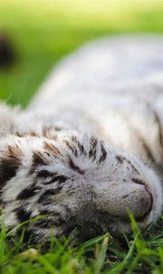 Baby white tiger sleeping   Baby white tiger, Animals ...