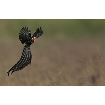 Long-tailed Widowbird - Animal & Insect Photos Loretta