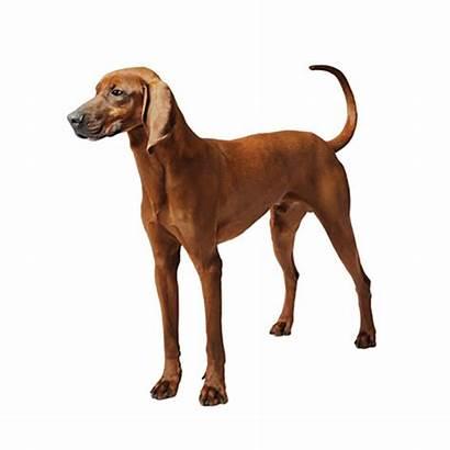Coonhound Redbone Bloodhound Hound Dog Purina Breeds