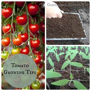 Tomato growing tips for beginners for Tomato gardening tips