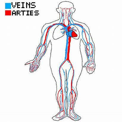 Circulatory Respiratory System Working Together Pixilart Main
